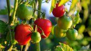 Les tomates peuvent alerter le reste de la plante qu'elles se font attaquer