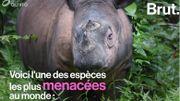En Indonésie, un programme lancé pour sauver les rhinocéros de Sumatra