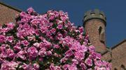 L'azalée gantoise a envahi le jardin botanique de Meise