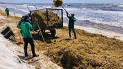 Les sargasses, la plaie qui menace les plages idylliques du Mexique