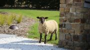 La campagne est si paisible que les moutons se baladent dans les jardins