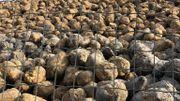 Pendant la campagne d'arrachage, 12.000 tonnes de betteraves circulent par jour dans l'usine Iscal Sugar