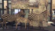 Le Musée de l'Afrique centrale est devenu AfricaMuseum