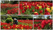 25.000 bulbes de tulipes plantés dans un jardin à Evregnies