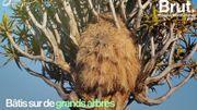 Dans les coulisses du plus gros nid d'oiseaux au monde