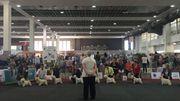 Le concours va commencer pour ces West Highland White Terrier.