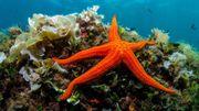 Bientôt des cosmétiques anti-âge à base de collagène d'étoiles de mer