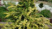 Plantation de petits conifères au jardin Massart