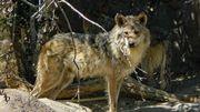 Une louve gris retrouvée morte après avoir parcouru 12.700 km pour trouver un compagnon