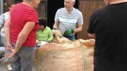 À Gibecq, un expert analysait et pesait la laine