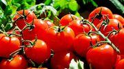 Des tonnes de tomates gâchées