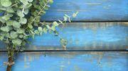 Eucalyptus radiata : votre allié santé