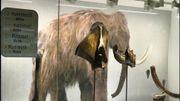 A la gare du Midi, navetteurs et navetteuses peuvent admirer ces restes de mammouth trouvés sur place