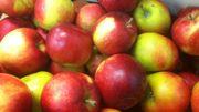 Le récolte des pommes s'annonce moins bonne cette année