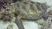 De plus en plus de tortues femelles en Australie