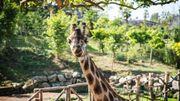 Pairi Daiza peut à nouveau accueillir des visiteurs depuis ce week-end