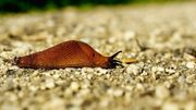 Limaces et escargots : amis ou ennemis de nos jardins ?