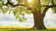 Quel est votre arbre totem ?
