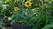 Plante d'intérieur du mois: le tournesol