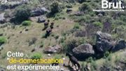 Au Portugal, des vaches domestiques retrouvent leur état sauvage