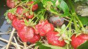 Grêle et pluies diluviennes: certaines cultures réduites en bouillie