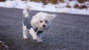 Bien-être animal: faut-il vraiment mettre un manteau à son chien quand il fait froid?