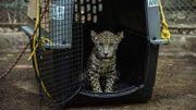 Nicaragua : deux bébés jaguars sauvés des mains de trafiquants grâce aux réseaux sociaux