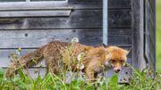 Le confinement profite aux animaux des villes