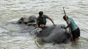 Des gardiens lavent un éléphant dans la rivière au sanctuaire d'éléphants de Pinnawala, le 11 août 2020.