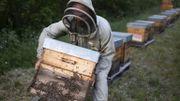 Un apiculteur installe les ruches à quelques centaines de mètres de champs de lavande, le 25 juin 2020 à Banon, dans les Alpes-de-Haute-Provence.