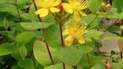 hupericum inodorum