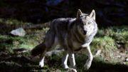 Illustration - A grands pas, le loup s'approche de nos frontières