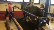 Tokyo 2021 : Les chevaux belges ont aussi leurs tests physiques d'avant JO
