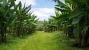 Dans les Antilles françaises, le chlordécone, pesticide cancérigène, au centre des préoccupations