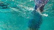 Tournai: une sirène, en chair et en os, à la piscine de L'Orient