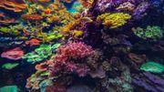 Certains types de coraux résisteraient mieux au changement climatique selon leur couleur