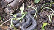 Au secours, il y a un serpent dans mon compost !
