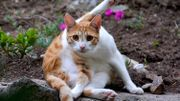 Adopter un chat hypoallergenique, bientôt possible grace à la génétique