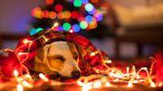 Un Noël et Nouvel an de tous les dangers pour nos animaux