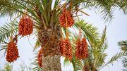 Le palmier-dattier, facteur d'unité culturelle dans le monde arabe.
