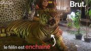 En Thaïlande, des selfies de tigres créent la polémique
