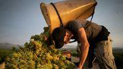 Réchauffement climatique : dans le Roussillon, des vendanges toujours plus précoces