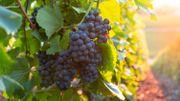 Vin, vinasse, piquette… les mots autour du vin