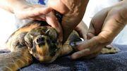 Une tortue rare victime de braconniers met en alerte les défenseurs des animaux