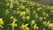 La Fête de la jonquille à Rocherath ce dimanche 14 avril