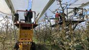 Les producteurs de fruits déploient les bâches au-dessus des cerisiers.