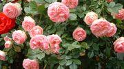 Mesdames, vous aimez les roses, messieurs, vous avez quelque chose à vous faire pardonner ?