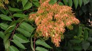 Ailanthus altissima (Mill.)