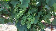 La qualité des raisins est exceptionnelle
