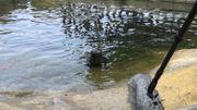 Un phoque soigné à la clinique de Blankenberge